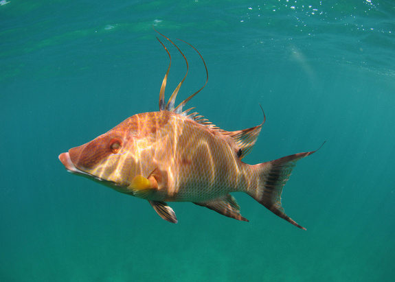 Hogfish swimming underwater off the coast of the Atlantic Ocean