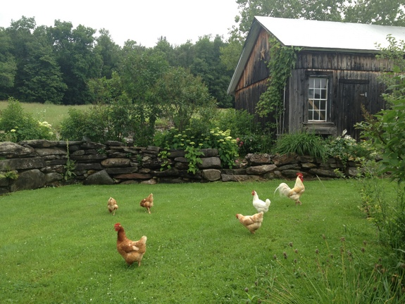 Chicken, Free Range, pets, Alligator Hall, Sarah Sanford, raising chickens, barnyard pets