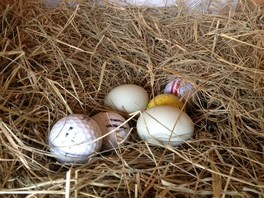 Alligator Hall, Sarah Sanford, chickens, eggs, lifestyle, pets, laying eggs